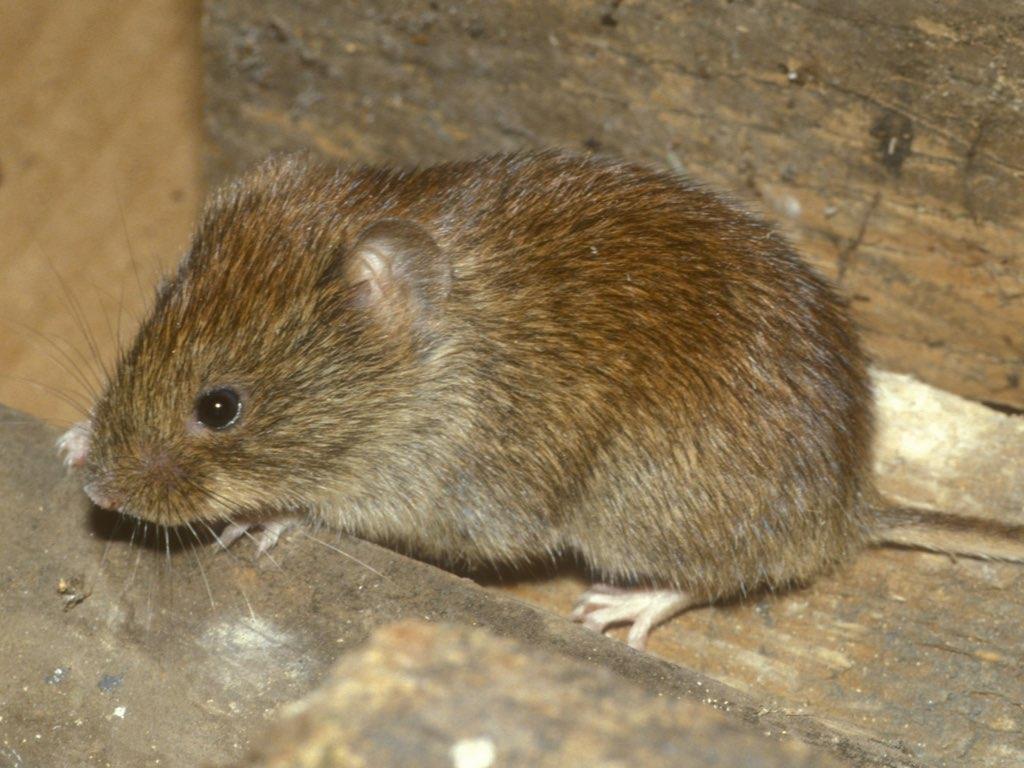 Huiles Essentielles Contre Les Souris lutter contre l'invasion de souris et rats